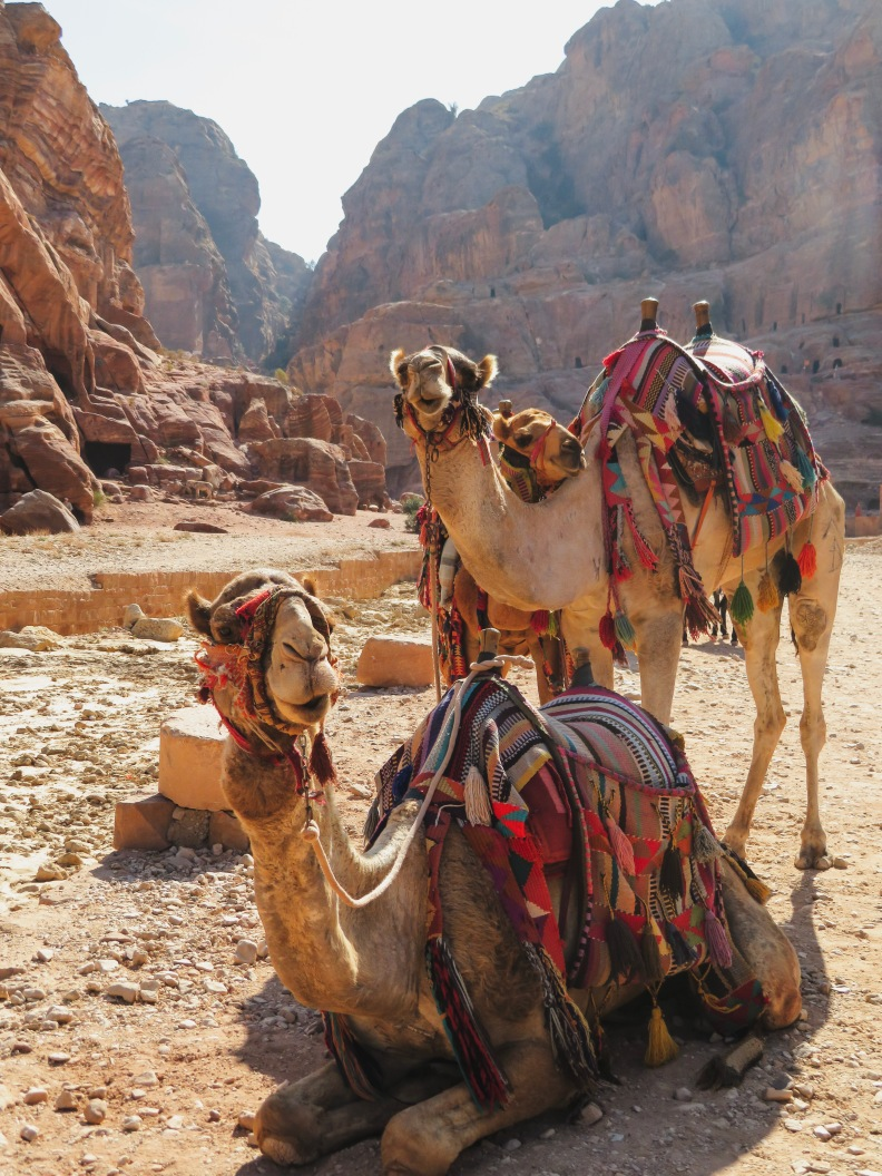 Three camels in Petra, Jordan
